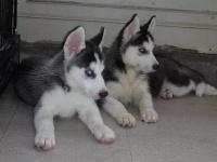 经典三把火双蓝眼 堪称最帅名犬 高品质哈士奇待售