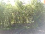 绿园爬地柏价格 红花王子锦带 金丝垂柳价格 珍珠梅