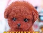 纯种泰迪犬——茶杯泰迪狗——娃娃脸韩系泰迪——诚信质保