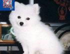纯种尖嘴银狐犬活泼可爱血统包健康支持上门看狗