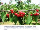 2016西安水果采摘 西安什么时候摘樱桃,西安摘樱桃一日游