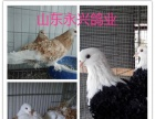 白羽王,银羽王,落地王,红卡奴,公斤鸽出售