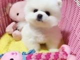 出售纯种健康活泼博美犬多种颜色签订质保协议