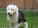 佛山华源经典白头古牧幼犬待售送 喂养教材 三个月协议保障