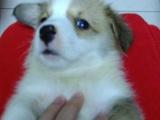家养自产柯基犬(公母均有)狗贩勿扰