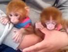 广东省江门市哪里有卖袖珍石猴宠物猴