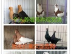 出售落地王鸽,马甲凤尾鸽,天使鸽,金鱼鸽,天使鸽子