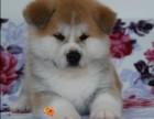 温州本地犬舍出售精品秋田犬包纯包健康送货上门