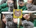 无锡本地出售纯种英短蓝猫渐层,美短猫, 包健康