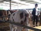 出售小牛,肉牛犊,改良肉牛犊,西门塔尔犊牛,鲁西黄