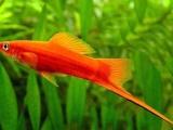 红箭鱼 2.5-4cm 1对 剑尾鱼 小型观赏宠物鱼 500起拍