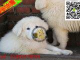 大白熊成年有多重 大白熊适合楼房养吗 大白熊多少钱