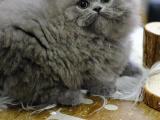 上海闸北双血统矮脚猫出售