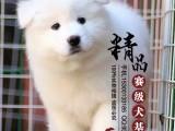 青岛纯种萨摩耶幼犬多少钱一只