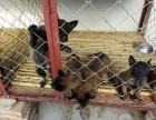 出售马犬幼犬,公母均有,血统纯正,欢迎选购