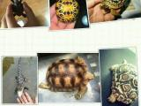 小菜乌龟幼体,陆龟