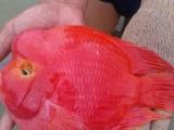自己繁殖的元宝鹦鹉鱼