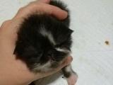 自家繁育加菲猫(异国短毛猫)找靠谱家长