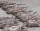 福田专业捡死老鼠,家里有死老鼠的臭味怎么办如何清除消毒除臭