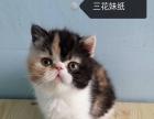 两只成年 加菲猫一公一母