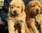 苏州哪里卖金毛,金毛价格多少,苏州哪里有狗场