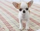 西安纯种吉娃娃价格 西安哪里能买到纯种吉娃娃犬