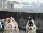 自家蓝眼睛的三火哈士奇狗狗转让了健康的小哈