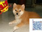 上海哪里有卖柴犬的 柴犬一般多少钱