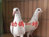 信鸽出售,血统信鸽,成绩信鸽,种鸽