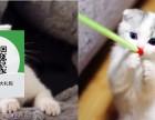 南阳哪里有折耳猫出售 南阳折耳猫价格 南阳宠物猫转让出售