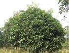 桂花树大量出售