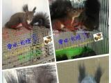 可爱的魔王松鼠,黄山松鼠,金花松鼠宝宝全年可爱出击