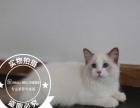 蓝双色布偶猫弟弟四个月(正规猫舍绝育找新家)