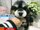 纯种雪纳瑞幼犬 超萌个性化雪纳瑞 专业注定品质