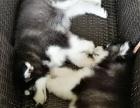 真的没空养,忍痛割爱四个月大的阿拉斯加犬