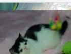 出售各种纯种健康短毛猫 加菲蓝猫可提供视频自家繁殖