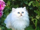 潍坊哪里有波斯猫卖 纯种 无病无廯 协议质保