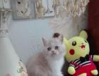 镇江本地华尔兹家猫猫:夏日特价出几只立耳折耳英短M