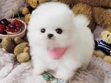 出售博美幼犬 哪里有卖博美幼犬 博美找新家