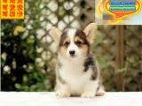 威尔士柯基幼犬出售北京专业犬舍柯基幼犬疫苗犬女