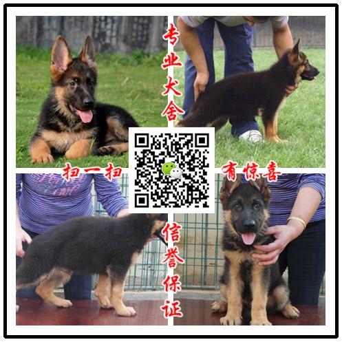 养殖场出售大型犬 阿拉斯加 高加索 德牧 藏獒 秋天等包健康