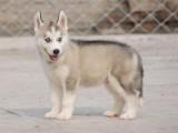 佛山评价比较好的狗场,南海区哪里有卖哈士奇犬