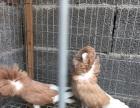 落地王肉鸽子观赏活体宠物较特大2.4斤元宝鸽信鸽白羽王鸽子