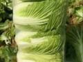 商丘市大白菜供应15537022118
