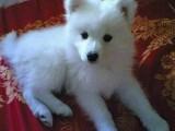 江门哪有日本尖嘴犬卖 江门日本尖嘴犬价格 日本尖嘴犬多少钱