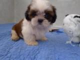 银川纯种西施犬大概多少钱一只 在银川什么地方能买到纯种西施犬