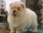 重庆哪里出售松狮犬 重庆宠物店信誉好