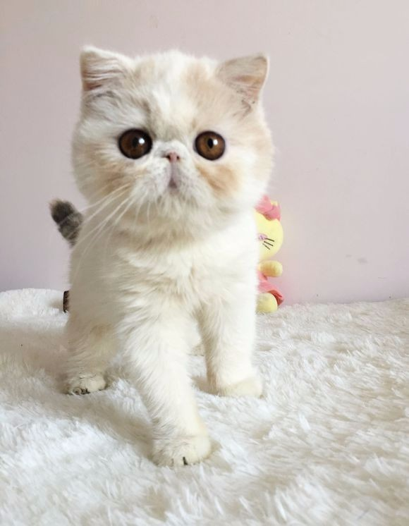 重庆哪里有加菲猫卖 自家繁殖 品相极佳 多只可挑