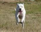 成年杜高犬低价出售 杜高犬野猪的克星