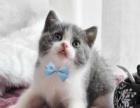 特价猫仅900好评如潮虎斑加白 蓝猫加白 渐层